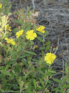 Wildflower - Grayton Beach State Park