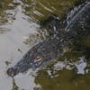 Alligator Along Trails at Lake Alice - Univ. of Florida_2