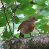 Juvenile Male Cardinal Getting His Red Feather - Kanapaha Gardens - Gainesville, FL