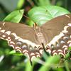Palamedes Swallowtail at Bivens Arm Nature Park