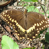 Palamedes Swallowtail Butterfly - Madera, Gainesville, FL_2