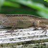 Lizard - Kanapaha Gardens - Gainesville, FL