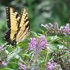 Eastern Tiger Swallowtail - Kanapaha Gardens - Gainesville, FL