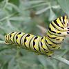 Black Swallowtail Caterpillar (Papilio polyxenes) - Kanapaha Gardens - Gainesville, FL