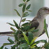 Juvenile Mockingbird - Madera, Gainesville, FL_2