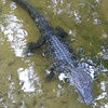 Alligator Along Trails at Lake Alice - Univ. of Florida