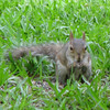 Squirrel - Kanapaha Gardens - Gainesville, FL