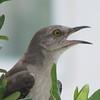 Juvenile Mockingbird - Madera, Gainesville, FL
