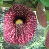 Pelican Flower, Aristolochia gigantea, Jamaica - Kanapaha Gardens - Gainesville, FL
