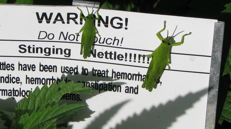 Stinging Nettle Loaded With Grasshoppers - Kanapaha Gardens - Gainesville, FL
