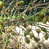 Seeds or Nuts Produced By Palm