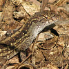Lizard - Kanapaha Gardens - Gainesville, FL_3