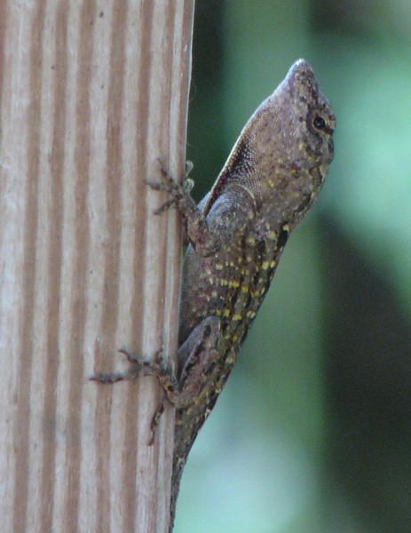 Lizard - Kanapaha Gardens - Gainesville, FL_2