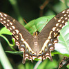 Palamedes Swallowtail at Bivens Arm Nature Park_2