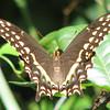Palamedes Swallowtail at Bivens Arm Nature Park_2