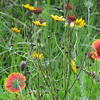 Native Wildflowers in Field at Univ. of Florida