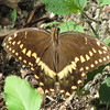 Palamedes Swallowtail Butterfly - Madera, Gainesville, FL