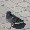 Walking Rock Dove (aka Feral Pigeon) - Jacksonville Beach, FL