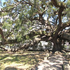Treaty Oak is over 200 years oldand is 70 foot tall - Jacksonville, FL