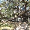 Treaty Oak is over 200 years oldand is 70 foot tall - Jacksonville, FL