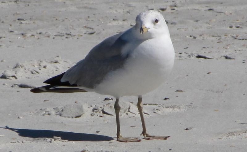 Ring-billed Gull - Jacksonville Beach, FL