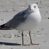 Ring-billed Gull - Jacksonville Beach, FL