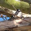 VIDEO:  Downy Woodpekcer in Tree - Jacksonville Beach, FL - March 2010