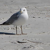 Ring-billed Gull on Beach - Jacksonville Beach, FL