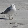 Ring-billed Gull on Beach - Jacksonville Beach, FL
