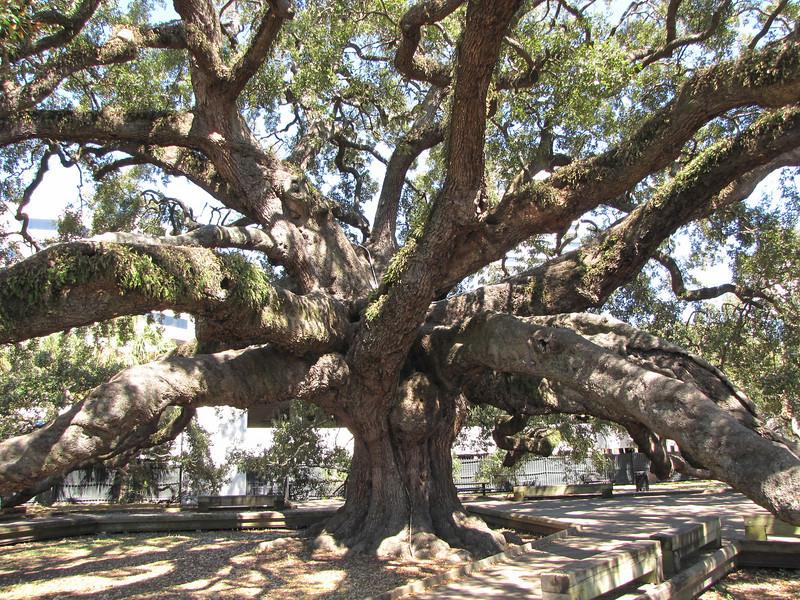 Treaty Oak's trunk is over 25 feet in circumference - Jacksonville, FL