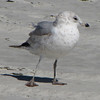 Possible Ring-billed Gull - Jacksonville Beach, FL