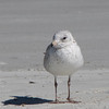 Possible Young Herring Gull Watching Me - Jacksonville Beach, FL