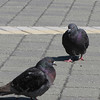 Dark Adult Rock Doves (aka Feral Pigeons) Near the Beach - Jacksonville Beach, FL