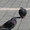 Dark Adult Rock Doves (aka Feral Pigeons) Near the Beach - Jacksonville Beach, FL