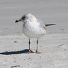 Possible Young Herring Gull on Beach- Jacksonville Beach, FL