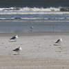 Ring-billed Gulls on Beach and Ocean - Jacksonville Beach, FL