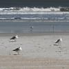 Ring-billed Gulls on Beach and Ocean - Jacksonville Beach, FL