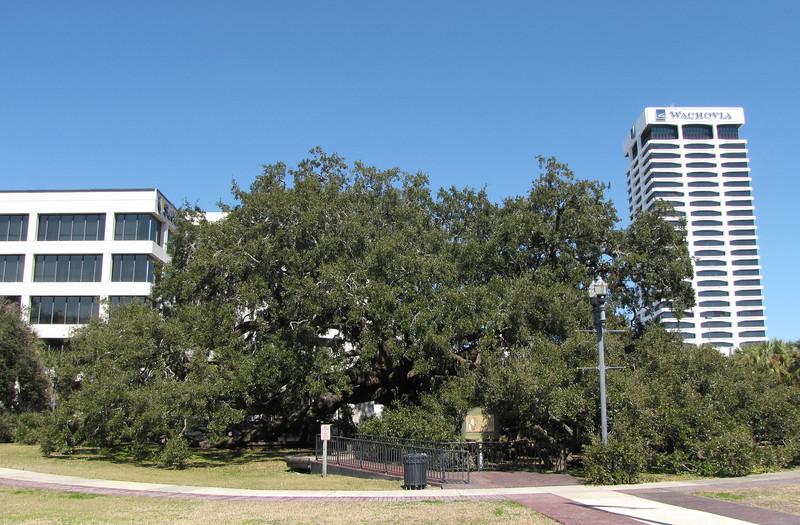 Known as Treaty Oak, a magnificent specimen of Quercus Virginiana, or Live Oak - Jacksonville, FL