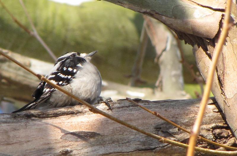 Downy Woodpecker on Tree Outside Bonnie's House - Jacksonville Beach, FL