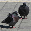 Wind-blown Dark Adult Rock Doves (aka Feral Pigeons) - Jacksonville Beach, FL