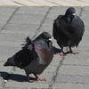Wind-blown Dark Adult Rock Doves (aka Feral Pigeons) - Jacksonville Beach, FL
