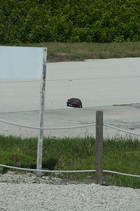 At our out-of-the-bus photo opportunity of the two shuttle launch pads, this turtle was making remarkably fast time crossing the road. -- Touring the Kennedy Space Center