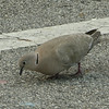 Eurasian Collared Dove at Florida Welcome Station at I-95 Border_2