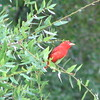 Male Eastern Summer Tanager - RiverWalk in Fanning Springs, FL