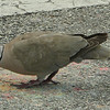 Eurasian Collared Dove at Florida Welcome Station at I-95 Border