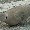 Eurasian Collared Dove at Florida Welcome Station at I-95 Border_3