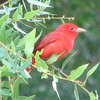 Male Eastern Summer Tanager - RiverWalk in Fanning Springs, FL_2