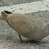 Eurasian Collared Dove at Florida Welcome Station at I-95 Border_4