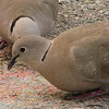 Eurasian Collared Dove at Florida Welcome Station at I-95 Border_5