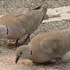 Eurasian Collared Dove at Florida Welcome Station at I-95 Border_6